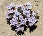 Tiny purple wildflowers were growing in the sandy areas of Palm Wash.