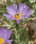 Mojave Aster were in bloom in Palm Wash.