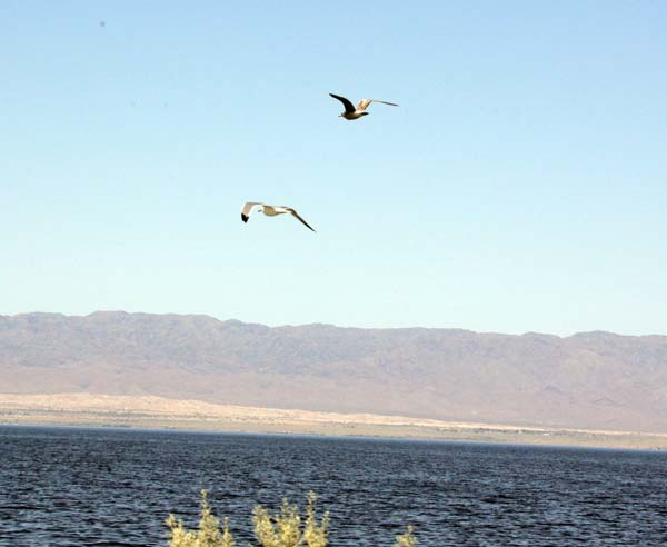 Gulls flying over the Salton Sea.