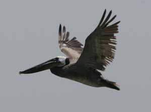A brown Pelican at the Salton Sea.