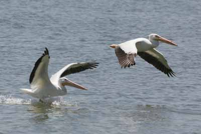 White pelicans taking flight.