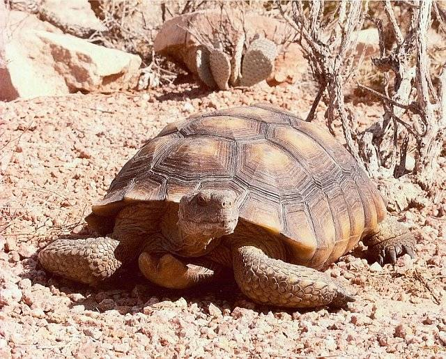 Mojave Maxine vs Punxsutawney Phil