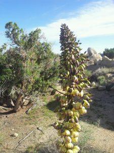 Nolina Yucca1