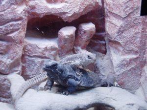 lizards sunning on a rock