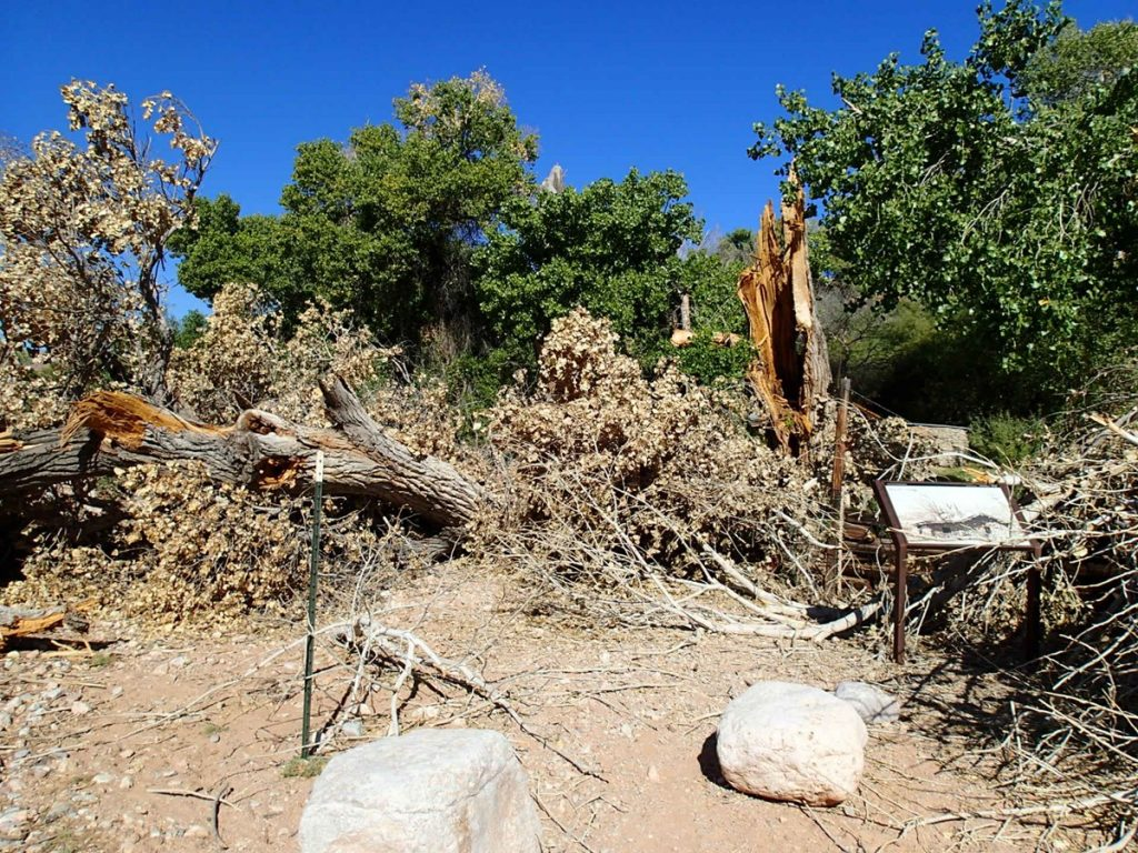 This cottonwood broke apart and crushed a section of fence. NPS