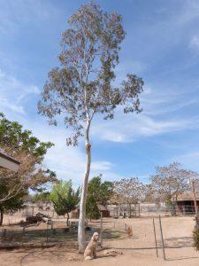 White Ironbark Eucalyptus