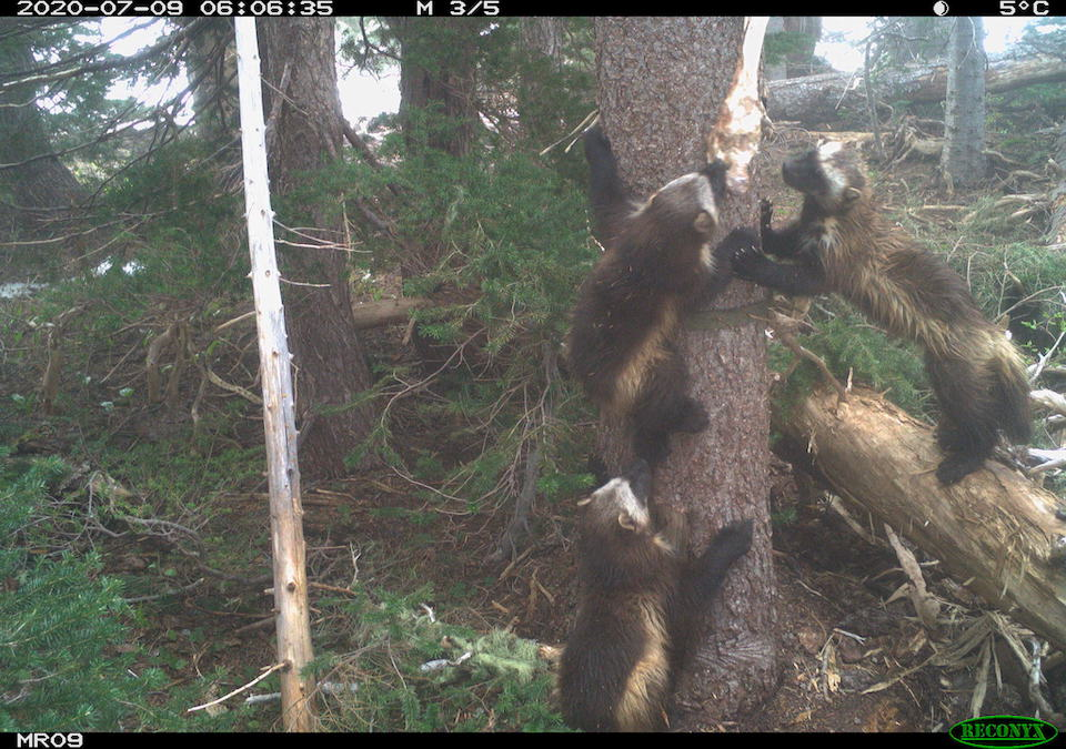 Wolverines Return to Mount Rainier National Park After More Than 100 Years