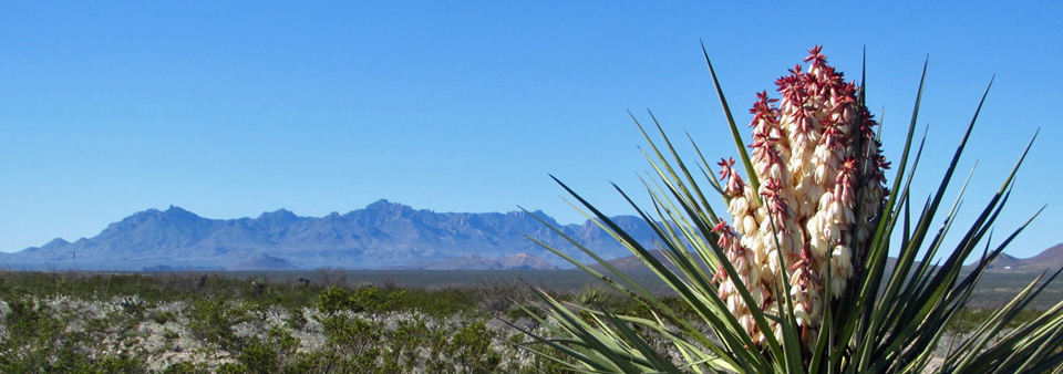Yucca with Chisos