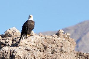 2014 Lake Mead NRA Eagle Survey