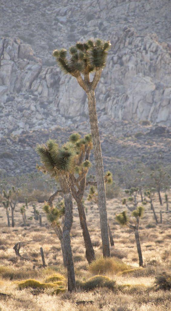 Tall Joshua Tree