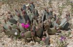 The beavertail cactus are just starting to bloom and will continue to show color into early April.