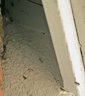 Bees in roof of casita. Hard to see, but they are living under the roof.