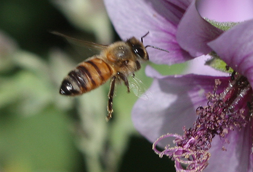 How to escape an attack by Africanized Honey Bees?