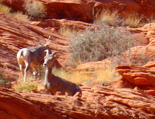 Bighorn sheep in the Valley of Fire State Park.