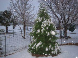 Incesse Cedar