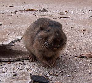 Our furry little friend . . . the pool-digging gopher.