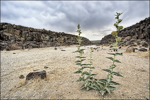 A desert milkweed seems to be guarding the entrance to Inscription Canyon.
