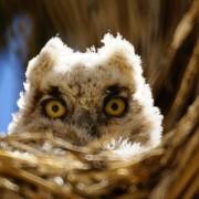 Peek-a-Whooo?