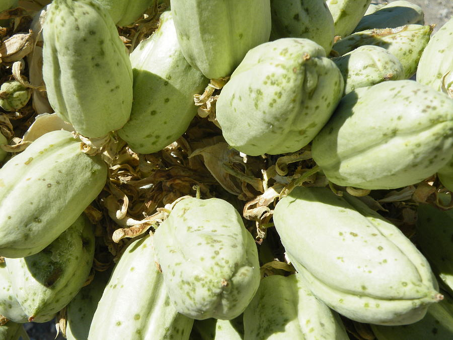 Seed Pods Of The Joshua Tree