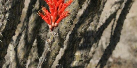 Only one or two ocotillo had a few blooms on Feb. 1st, 2012.