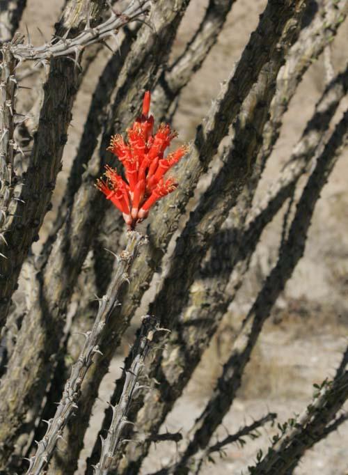 Wildflower Update at Anza-Borrego Desert State Park on Feb. 1st, 2012