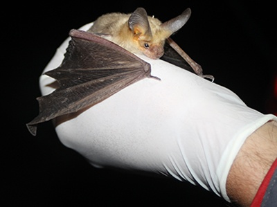 A specially trained Glen Canyon National Recreation Area employee handles a healthy Pallid Bat. Pallid bats are one of a dozen species of bats in the Glen Canyon National Recreation Area that pollinate flowers and eat pesky insects. NPS Photo