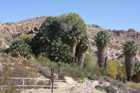 Palm Oasis in Cottonwood Spring.