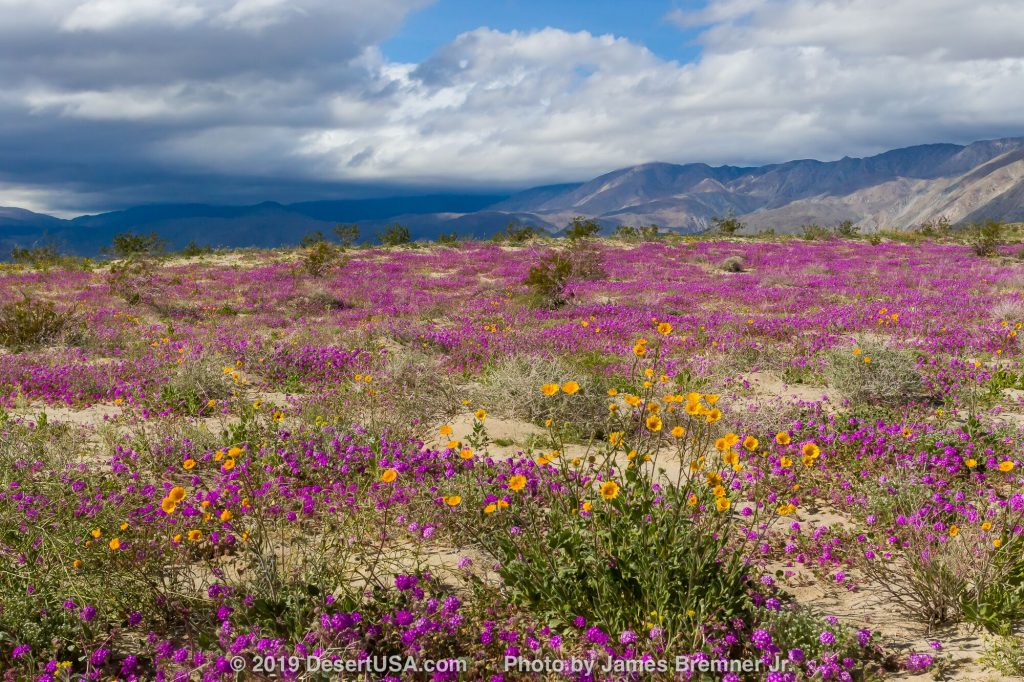 Photo of Desert wildflowers in Anza-Borrego Desert State Park.