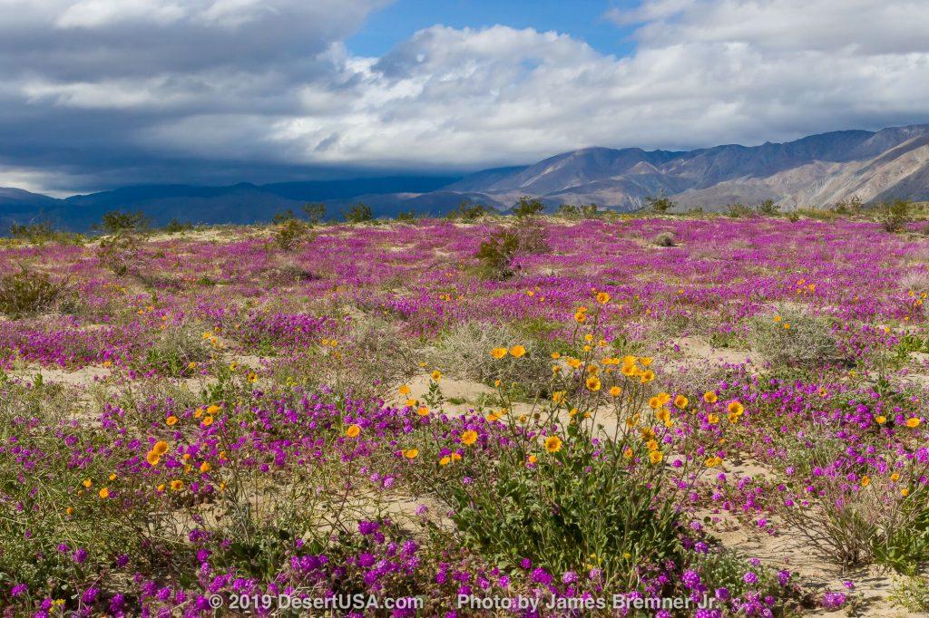Photo of Desert wildflowers in Anza-Borrego Desert State Park.