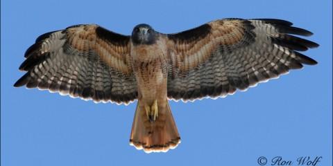 red-tail-hawk