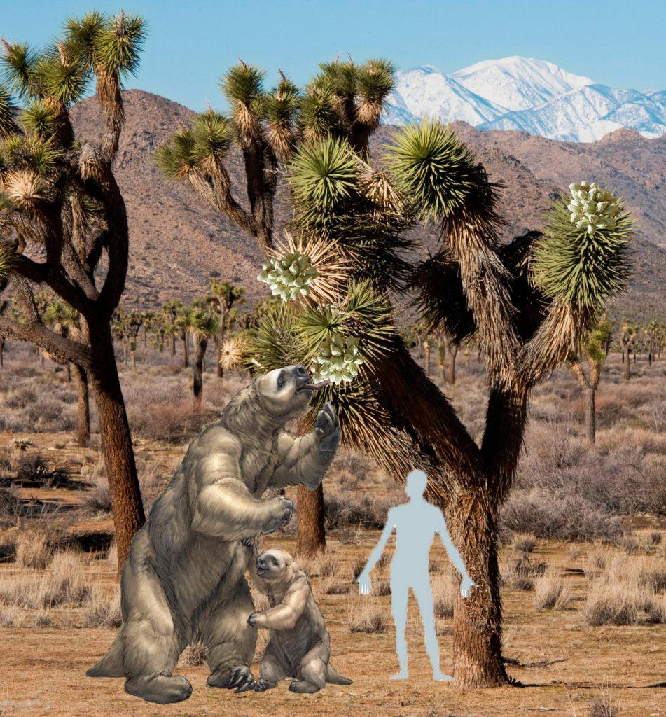 Joshua Trees Are Blooming In The Mojave Desert Desertusa Com Blog