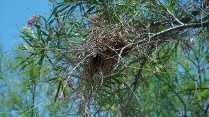 verdin's nest