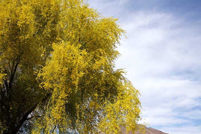 Palo verde tree desertusa palo verde trees commonly occur in the southwest the foothill yellow or littleleaf palo verde parkinsonia aculeata and the blue palo verde parkinsonia mightylinksfo