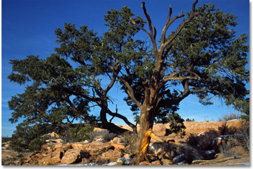 Leaf Pine Tree Pinyon Pines Are Iconic Trees