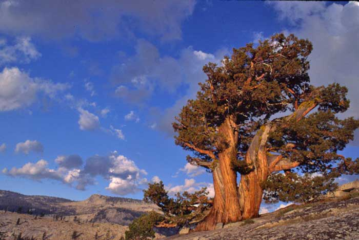 Western Juniper At Yosemite