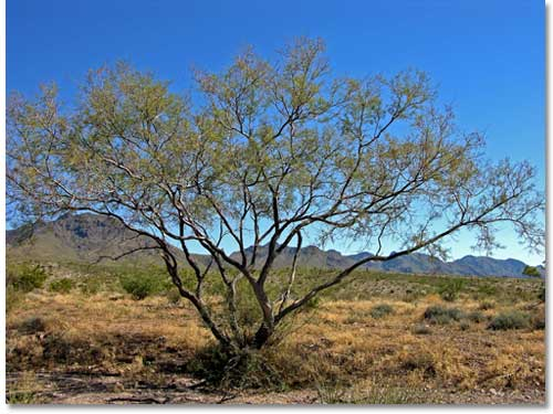 Whitethorn Acacia Desertusa