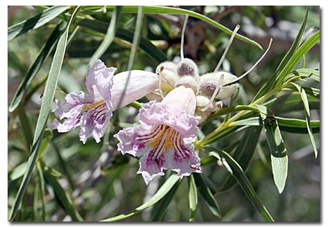 Desert Willow Desertusa
