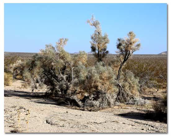 Smoke Tree Dalea Spinosa Desertusa