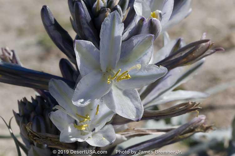 Desert Plants Cactus Wildflowers Flora Desertusa
