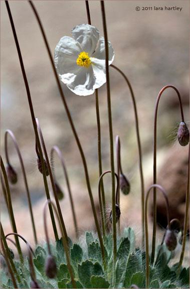 Desert Poppy White Bear Poppy Arctomecon Merriamii