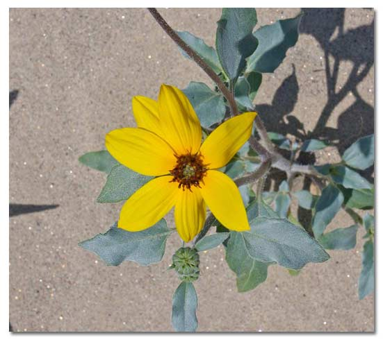 Dunes Sunflower