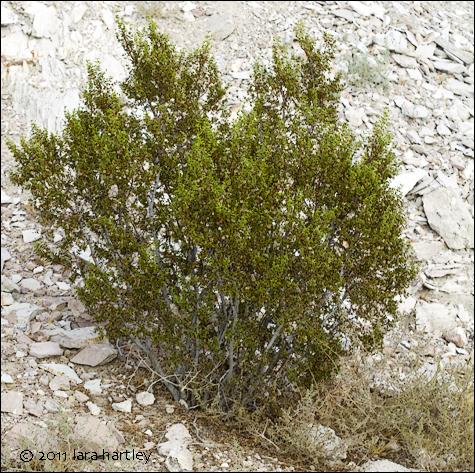 Creosote Bush Larrea Tridentata Desertusa
