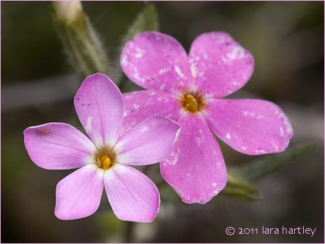 Cold desert phlox pink phlox phlox stansburyi desertusa phlox stansburyi mightylinksfo