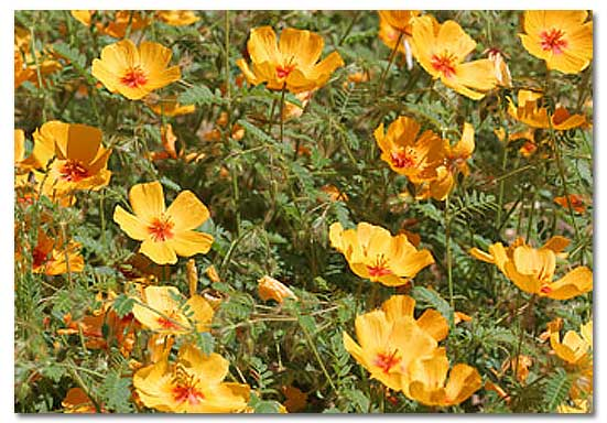 Arizona poppy kallstroemia grandiflora desertusa arizona poppy mightylinksfo