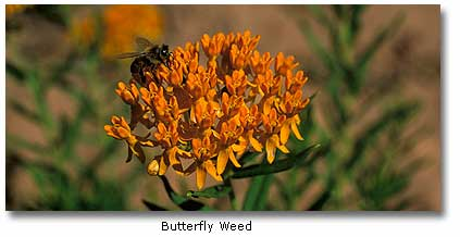 the characteristics of the butterfly weed a medicinal plant from north america The genus asclepias contains about eighty species, mostly natives of north america, a few being indigenous to south america and africa asclepias tuberosa, common from canada southwards, growing from ontario to minnesota, most abundantly southward and southwestward, is known popularly as pleurisy root, from its medicinal use.