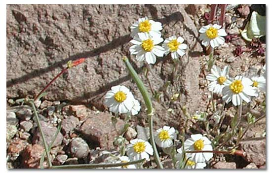 White wooly daisy