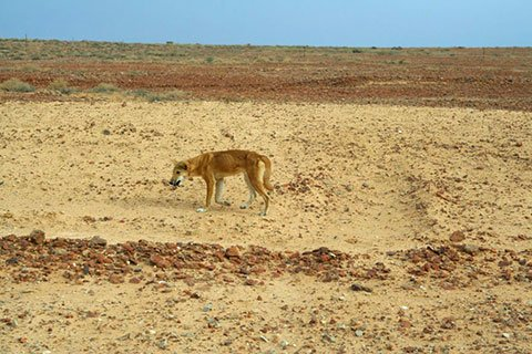 Dingo in Australia, Courtesy Wikimedia Commons
