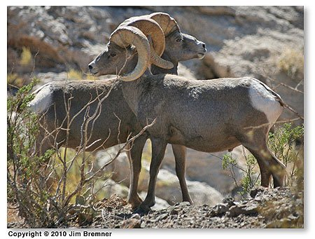 Photo two bighorn with horns locked