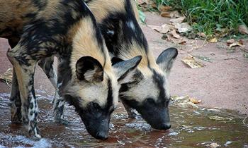 Desert animals desertusa african wild dogs fandeluxe Gallery