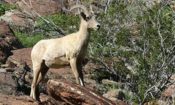 Desert animals desertusa bighorn sheep fandeluxe Gallery